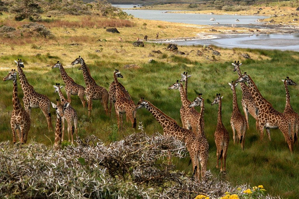 "The giraffe is the national animal. ""Giraffes Arusha Tanzania"" by Geir Kiste - Own work. Licensed under CC BY-SA 3.0 via Wikimedia Commons"